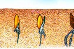 Схема прорастания семян пшеницы