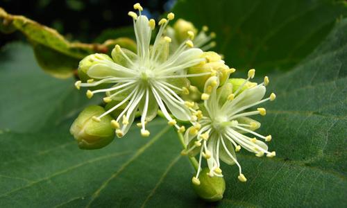 Польза цветов липы при похудении