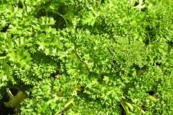 Польза зелени для желудка
