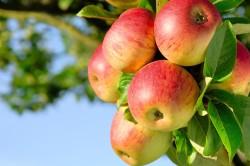 Употребление домашних фруктов