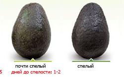 Стадии спелости авокадо